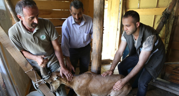 Artvin'de Köpeklerin Saldırdığı Yaban Keçisini Barajın Özel Güvenliği Kurtardı