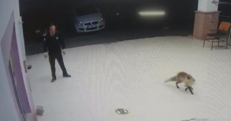 Tilki özel güvenlik görevlisinin anahtarını elinden alıp böyle kaçtı